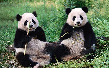 panda_1726130c