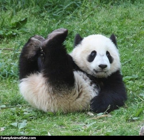 humorous hilarious funny pictures of animals_Panda_In_The_Grass
