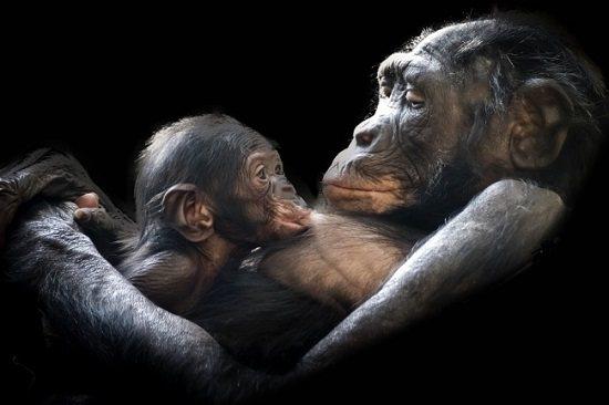【悲報】人間の子供とチンパンジーの赤ちゃんを一緒に育てた結果 →
