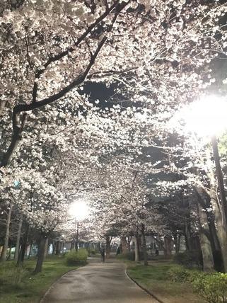 綾瀬の夜桜