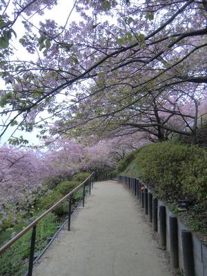 まつだ桜_001