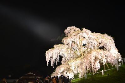 三春の滝桜_001