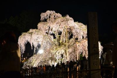 三春の滝桜_002