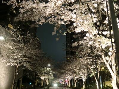 六本木ヒルズ_桜