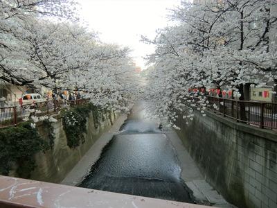 目黒川_桜