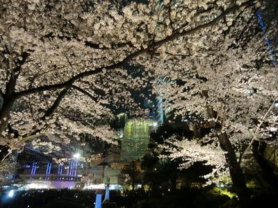 毛利庭園_桜