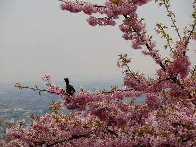 まつだ桜_002