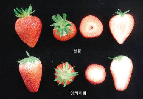 【韓国】 日本産抜いて国内イチゴ席巻~雪香など品種保護作物認定、一種の特許権で海外から使用料もらえる ← 日本から盗んでおいて、よく言う