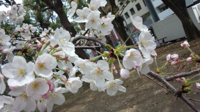桜満開!ゆうちゃんお恥ずかしい穴大公開!記事タイトル