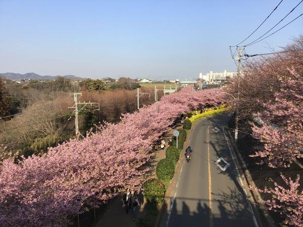 3/2三浦河津桜