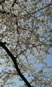 江戸川桜3