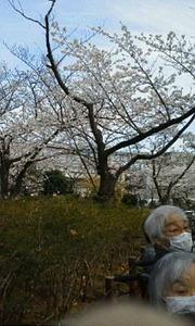 2しょうぶ沼公園桜