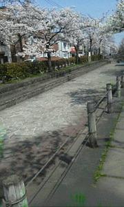 親水公園桜3
