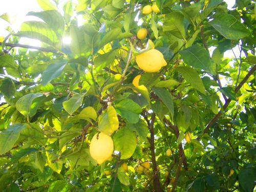 1383122587_cyprus-lemons