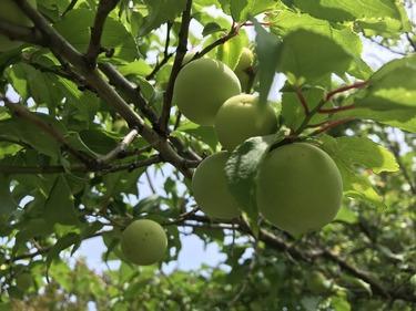 梅の実が大きくなってきた。