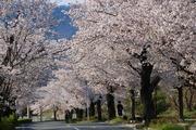 2017.4.14-秩父さんぽ-長瀞の桜