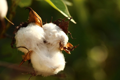 cotton-615103_1280