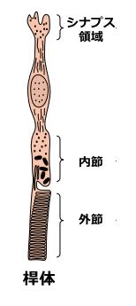 桿体細胞 : ヒトの全細胞