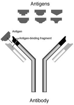 抗体の構造