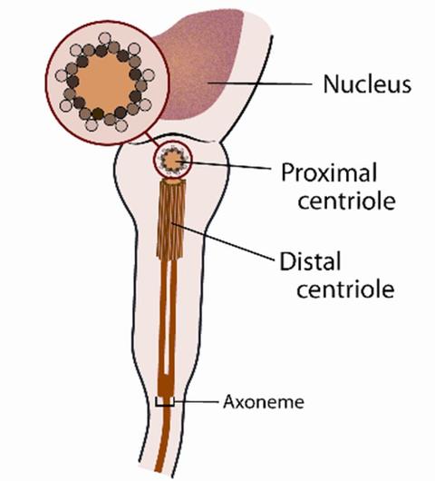 Centriole