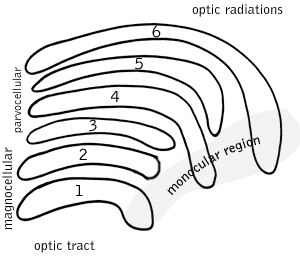 Lateral_geniculate_nucleus