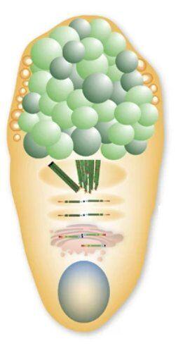 杯細胞の模式図