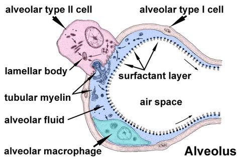 Alveolar-sac-01
