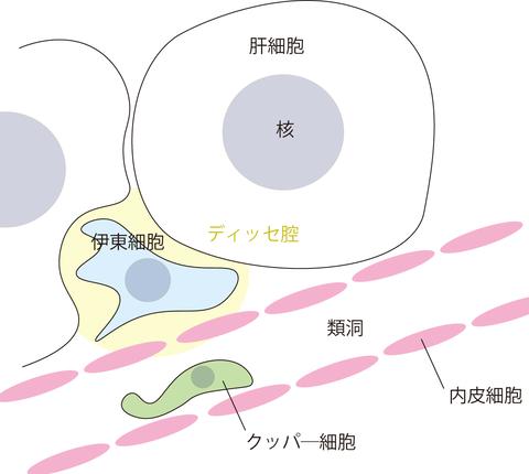 肝臓の細胞