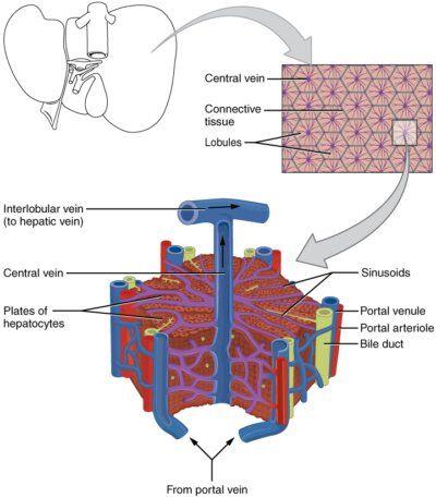肝小葉の構造