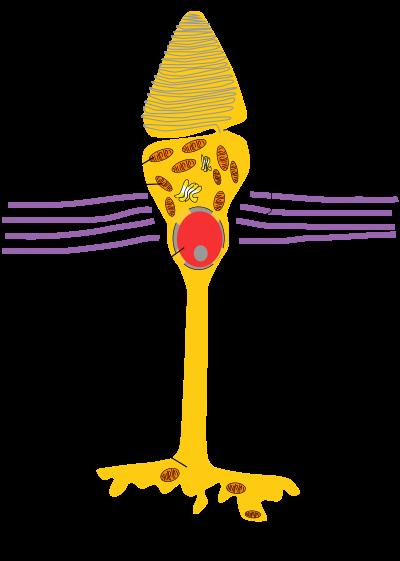 錐体細胞 : ヒトの全細胞