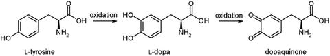 Monophenol_monooxygenase_simple_reaction