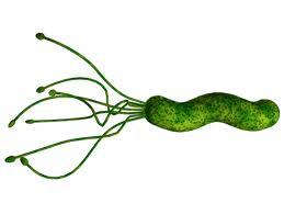 これがピロリ菌の姿
