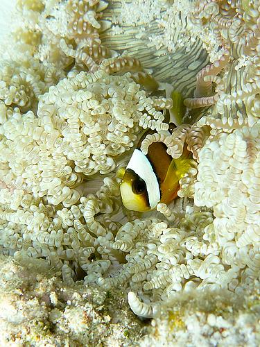 クマノミの幼魚(池間フナクス)