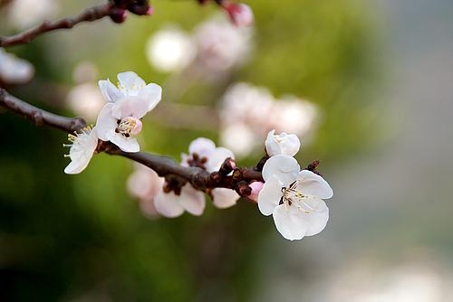 圓福寺 大可島城跡の桜