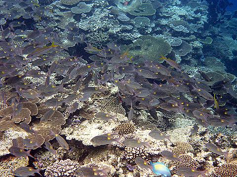 0720-139 ノコギリダイの群れ(西表島)