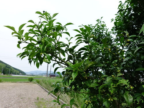 柚子の木の枝
