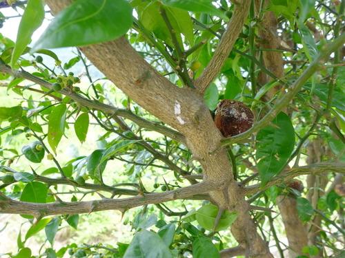 柚子の小さな実