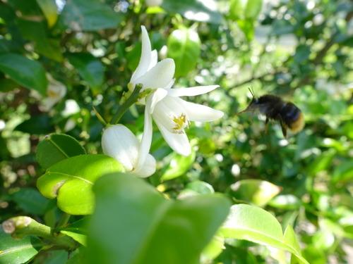 柚子 花と蜂