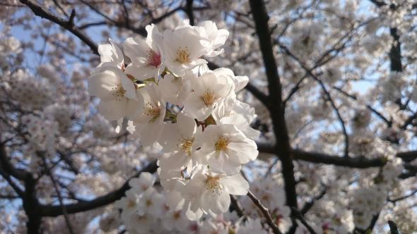 桜2014-01