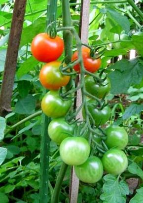わがやのトマト
