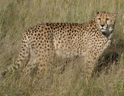 Africat_Cheetah