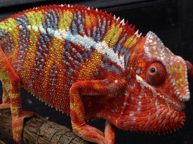 Amazing Blue Reptiles Ambilobe : CANDLEブログ - photo#16