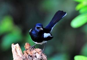 Magpie Robin (Copsychus saularis) Male 20cm