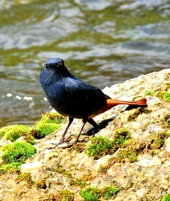 Male Plumbeous Water Redstart 14cm