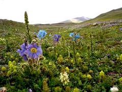 チベットの花の季節