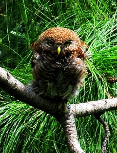Jungle Owlet 20cm