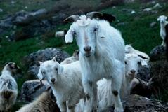 撫でてもらおうと寄ってくるヤギたち