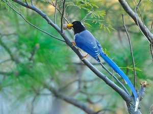 Red-billed Blue Magpie (Urocissa erythrorhyncha) 70cm