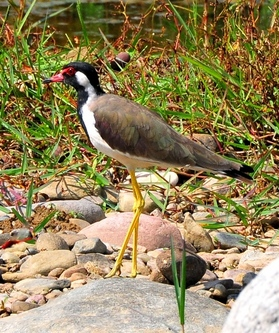 Redwattled Lapwing 33cm
