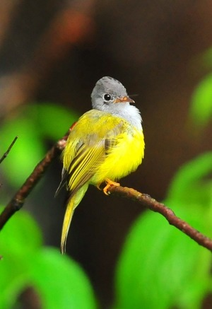 Gray-headed Canary Flycatcher(Culicicapa ceylonensis) 9cm